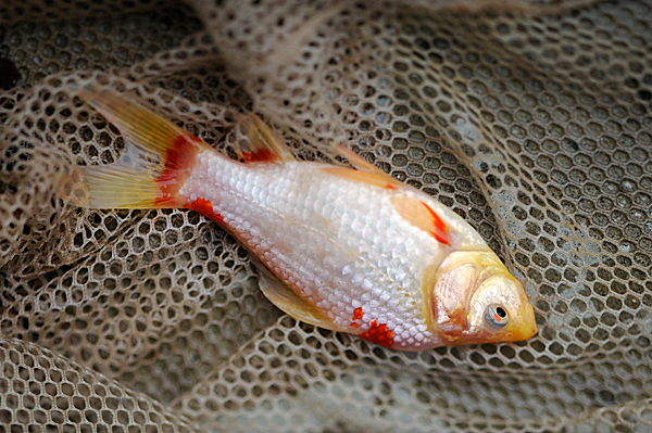 Maine Dept. of Inland Fisheries biologists used a plant-based chemical called rotenone to sedate and net this goldfish and other fish in a fish pond at Wildwood Trailside Cabins in Brownville, Maine Monday. DIF&W officials visited the site to remove and relocate some of the goldfish in the man-made outdoor pond there because it is illegal to have exotic/noxious invasive fish species in outdoor ponds in Maine. BANGOR DAILY NEWS PHOTO BY JOHN CLARKE RUSS