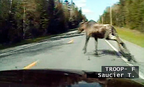 This is what Trooper Timmy Saucier?s cruiser camera recorded seconds before his car collided with this moose near Ashland in Aroostook County. The impact threw the animal over the hood and into the windshield of the car, showering Saucier with glass. He was not injured but damage to the cruiser will be more than $4,000. The crash took place Tuesday afternoon about 4 p.m. on Route 163. The one year old bull moose was shot by Saucier to put it out of its misery.  A Cumberland County deputy also struck a moose in Casco early Thursday morning. The deputy escaped injury and the moose ran off.  The animals are on the move this time of year and motorists need to be on the lookout for them, regardless of where in Maine they are traveling. The timing of Trooper Saucier?s crash was unique, as the majority of moose collisions take place at night.  PHOTO COURTESY OF MAINE STATE POLICE