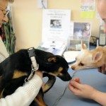 Chihuahuas fly from California to find Maine homes