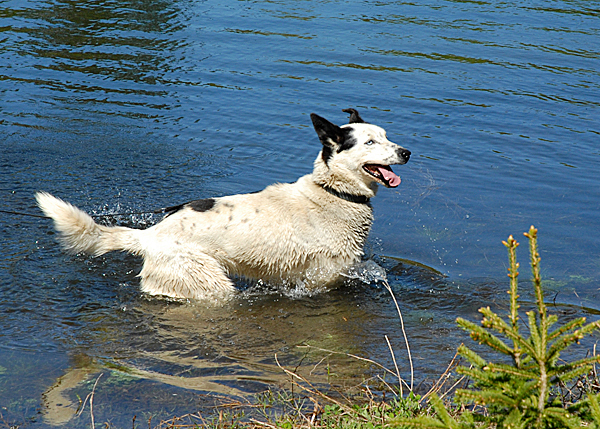 Not all sled dogs like the water, but Alaskan husky Seamus, a member of Rusty Metal Kennel in Fort Kent, loves his time cooling off in a small pond. JULIA BAYLY PHOTO