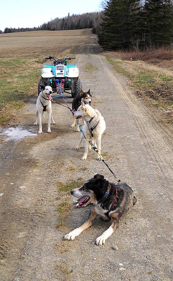 Sled dogs love off season runs as long as the temperatures remain cool and there are plenty of breaks along the way. JULIA BAYLY PHOTO