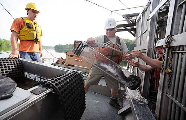 Kevin Dunham, right, hands fellow Dept. of Marine Resources fisheries biologist Mitch Simpson an Atlantic salmon, one of nine they retrieved at Veazie salmon trap during their visit to the Veazie Dam Tuesday, May 25, 2010. On the left is Andrew O'Malley, a U Maine environmental science major who is working with the D.I.F.W. this summer as he completes his degree. Since starting this year's survey on May 3, they have counted 242 salmon at the trap (as of May 25, 2010). BANGOR DAILY NEWS PHOTO BY JOHN CLARKE RUSS