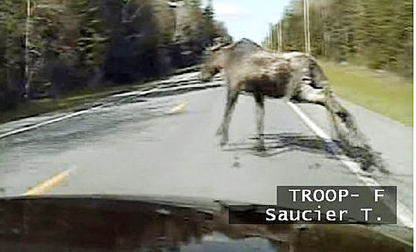 This May 11, 2010 Maine State Police dashboard camera photo released by the Maine Department of Public Safety, shows a moose crossing Route 163 near Ashland, Maine, in front of Trooper Tim Saucier?s cruiser. Seconds later, a collision sent the animal tumbling into the windshield, showering shards of glass onto Saucier, who was uninjured. Spring's arrival is sending moose scampering onto roadways, causing a spate of crashes including one that killed a man in another accident. (AP Photo/Maine State Police)