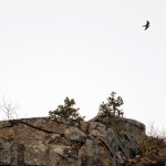 Acadia closes trails to protect peregrine falcons