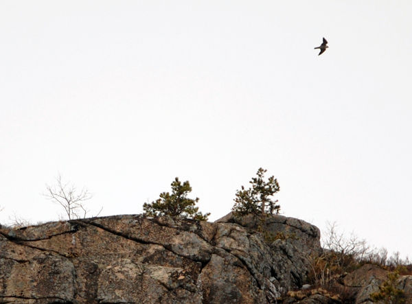 A peregrine falcon flies over the Precepice Cliff in Acadia National Park.  BANGOR DAILY NEWS FILE PHOTO BY GABOR DEGRE