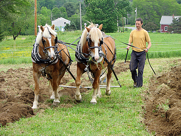 Alan Gibson steers a team of haflingers horses as they pull a plow through a