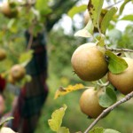 Northeast apple growers optimistic about crop