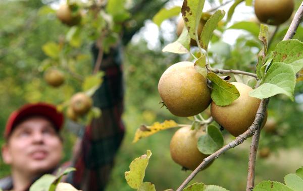apples2-JCR.jpg Ernest Rollins picks Golden Russet apples,  one of several heirloom apple varieties at Rollins Orchards in Garland, Maine. Buy Photo