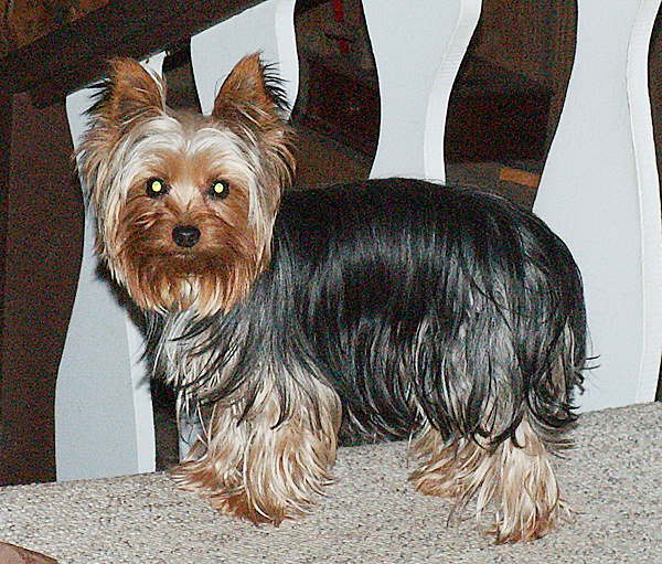 Lulu, a 5-pound, 2-year-old Yorkie, disappeared on Saturday, May 8, in Brewer. Her owners, who live in Massachusetts, have been searching for her ever since. (Photo courtesy of Norma Brettell)