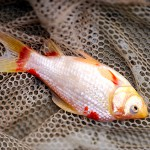 State kills invasive goldfish in pond