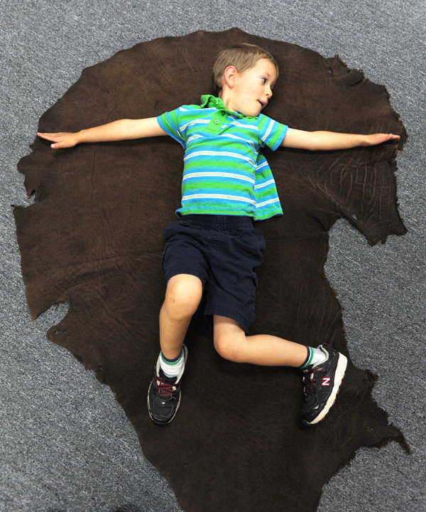 Barrett Walker, of Skowhegan lays on an elephant ear on the floor at the Maine Discovery Museum on Wednesday, June 9, 2010 in Bangor.  A new exhibit, SAFARI,  features numerous trophy animals from Asia, Africa, Europe and the Americas. Visitors are allowed to gently touch many of the stuffed displays. Barrett was visiting the museum with his mother, Abby, and sister, Vivian.(Bangor Daily News/Kevin Bennett)