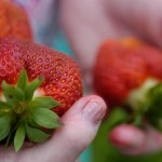 Maine's strawberry crop nearly ready