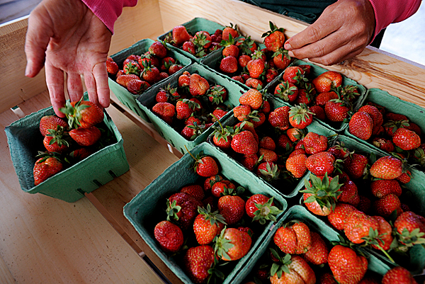 Fresh strawberries are hand sorted by a worker at a Tate's strawberry stand in Brewer on Wednesday, June 9, 2010. Customers commented on how early they are able to purchase the berries. BANGOR DAILY NEWS PHOTO BY KEVIN BENNETT