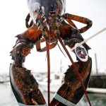 Board weighs lobster fishing moratorium in Southern New England