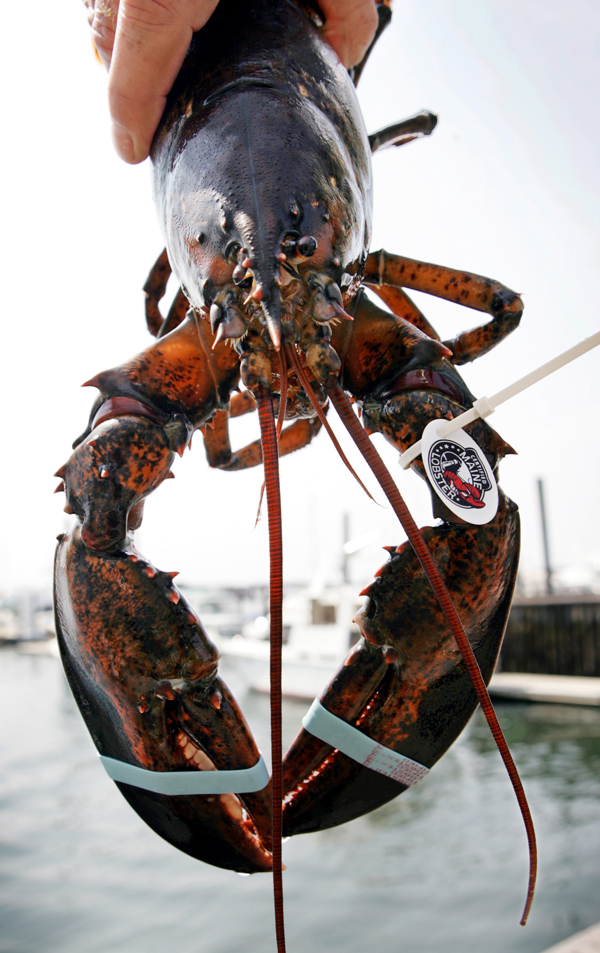 FILE-  This July 31, 2006 file photo shows a lobster with a tag identifying it a &quotcertified Maine lobster,&quot is seen in Portland, Maine. Ask any fisherman: It's not an easy way to make a living. Still, from Alaskan wild king salmon to lobsters plucked from the chilly waters off Maine, the industries have for the most part survived, many benefiting from the newfound appreciation for local, sustainable food sources.    (AP Photo/Robert F. Bukaty, FILE)