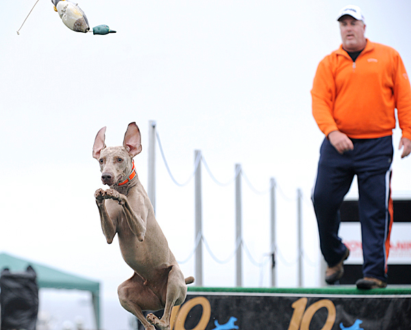 Dan Stallings of Virginia Beach, Vir. watches as his Weimarener, Alvin, chases a toy into a pool of water during the big air finals of the DockDogs competition on Sunday, June 12, 2010 at Rockland's Buoy Park.  BANGOR DAILY NEWS PHOTO BY KEVIN BENNETT