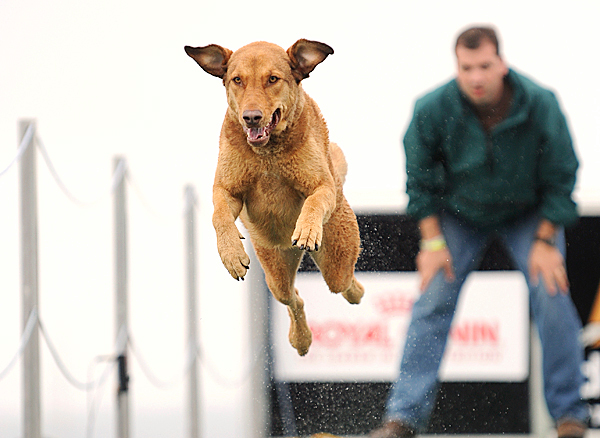 Twister, a Chesapeake Bay Retriever, competes in the speed retrieve finals of the DockDogs competition on Sunday, June 13, 2010 in Rockland. Twister's owner is Steve Sozio of Baltimore, Md.  BANGOR DAILY NEWS PHOTO BY KEVIN BENNETT
