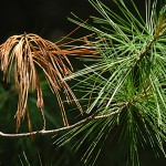 Fungi damaging white pine needles in northern New England