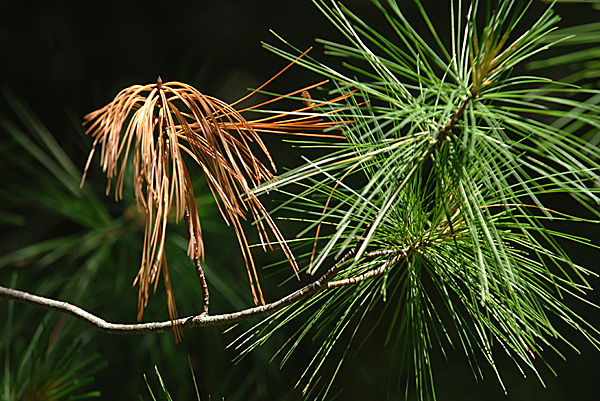 Forestry officials say two species of fungus are causing white pine tree needles to turn brown brown and drop, like this tree, which is dropping needles in in the breezes that buffet the branches along the Kenduskeag Stream on Valley Avenue in Bangor on Tuesday, June 15, 2010. BANGOR DAILY NEWS PHOTO BY SCOTT HASKELL