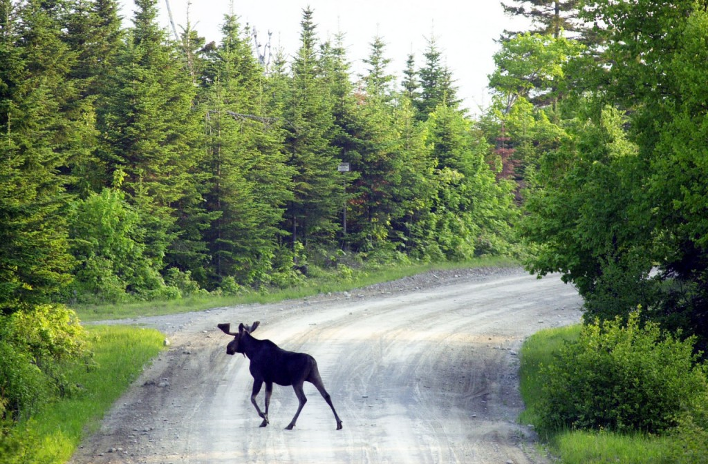 A bull moose crosses a logging road near Kokajo on the eastern side of Moosehad Lake. A bill submitted by Sen. Troy Jackson seeks to expand the moose hunting season in an attempt to decrease moose-vehicle accidents. (AP Photo/Robert F. Bukaty/FILE)