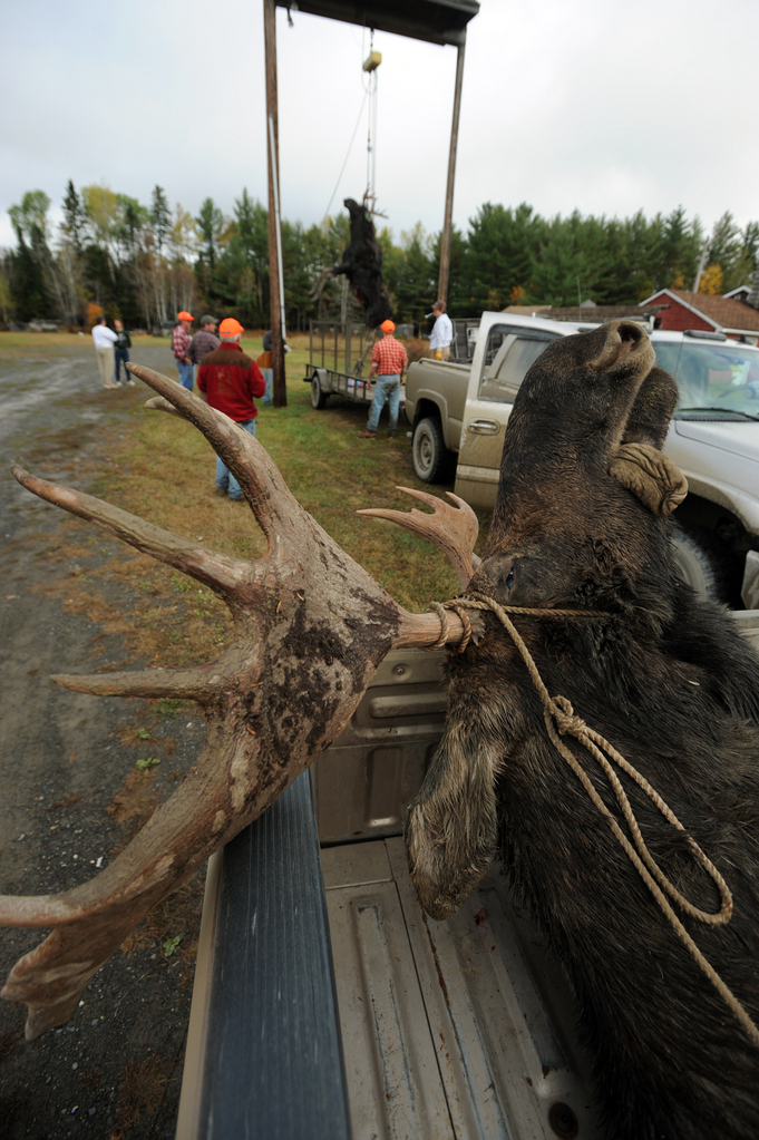 (BANGOR DAILY NEWS PHOTO BY KEVIN BENNETT)  CAPTION  A bull moose rests in the back of a pickup truck after being tagged by a hunter, as spectators gather for the weighing of another bull moose at the Gateway Variety store in Ashland  on Monday, September 28, 2009. (Bangor Daily News/Kevin Bennett)