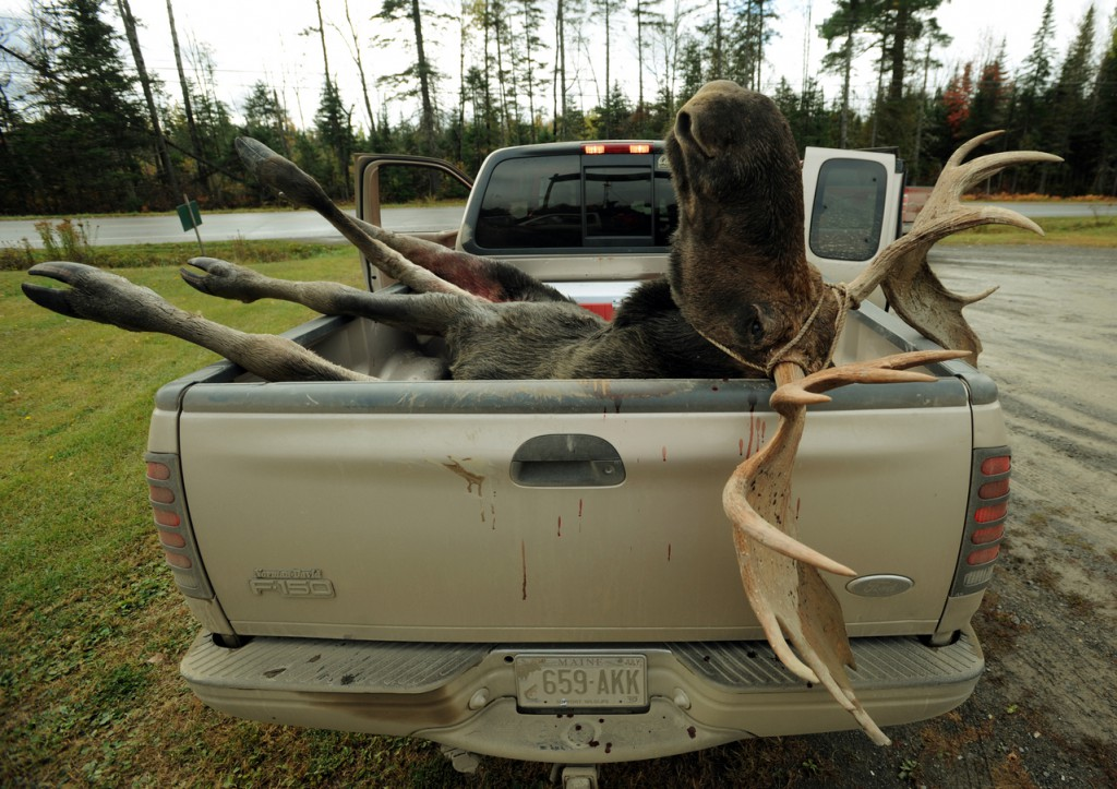 CAPTION A bull moose rests in the back of a pick up truck at the Gateway Variety store in Ashland after being weighed and tagged by a hunter on Monday, September 28, 2009. (Bangor Daily News/Kevin Bennett)   (WEB EDITION PHOTO)