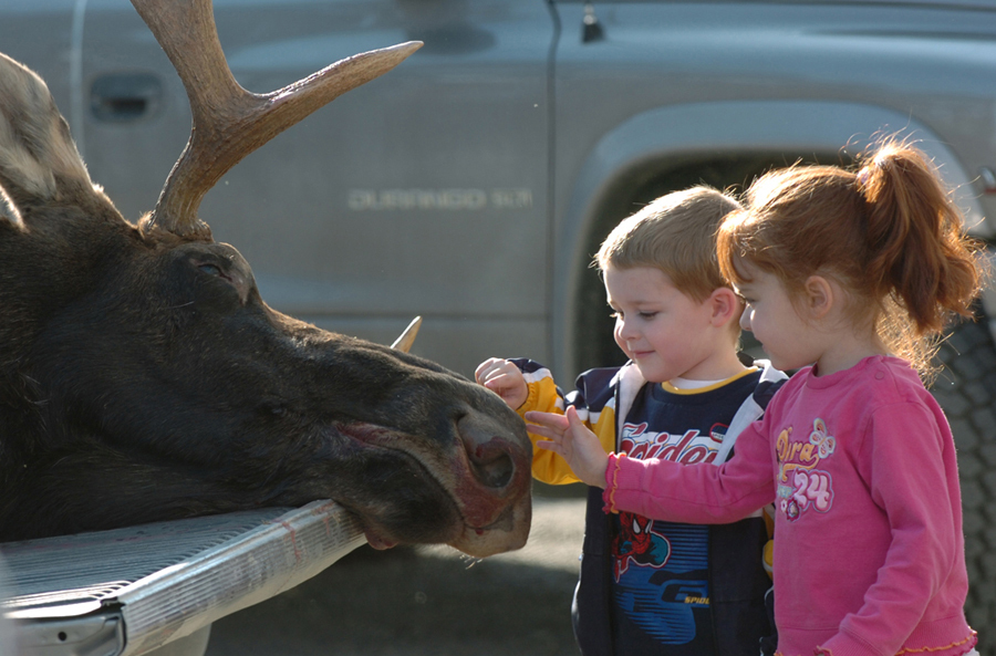 Meanwhile, Brady Holes (left) of Portage and his cousin Morgan Stevens of Masardis get a close-up view of a bull moose. A total of 1,133 hunters were awarded permits to hunt in designated Wildlife Management Districts in the northern and eastern sections of the state Monday through Saturday. Another 1,747 hunters will head afield for a six-day session Oct. 8-13.  (BANGOR DAILY NEWS PHOOT BY KEVIN BENNETT)  CAPTION  Brady Holmes (L) of Portage and his cousin Morgan Stevens (R) of Masardis get a close up view of a bull moose  at the Ashland tagging station on Monday afternoon.(Bangor Daily News/Kevin Bennett)