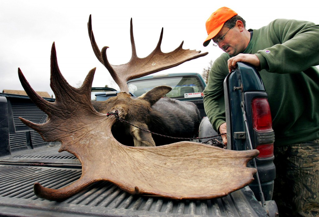 Steve Lacroix of Williamsburg Township, Maine, secures his moose before leaving a weigh station in Kokadjo, Maine, Wednesday, Oct. 11, 2006. Lacroix's bull moose weighed 724 pounds and its antlers had a spread of 56 and 1/2 inches. Maine's two week moose hunting season ends on Saturday. (AP Photo/Robert F. Bukaty)