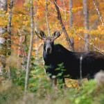 Read bags first moose with change of season