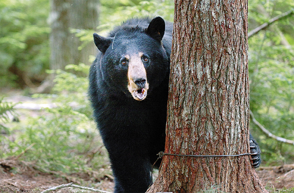 After being trapped by DIF&W biologists, a 246-pound female black bear pops her jaw as a sign of aggression Monday, June 14, 2010 in Township 36. (Bangor Daily News/Bridget Brown)