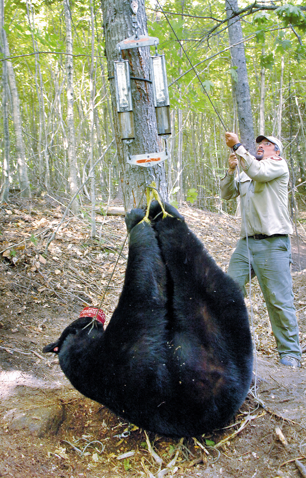 Wildlife biologist Randy Cross of the Department of Inland Fisheries & Wildlife weighs a 364-pound black bear Monday, June 14, 2010 during the department's annual spring survey. The survey lasts six weeks and helps biologists monitor and learn more about the 27,000 black bears that inhabit the Maine woods. (Bangor Daily News/Bridget Brown)
