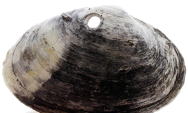 The remains of a soft shell clam,  the meat eaten by a moon snail, is displayed in Lubec, Maine, on Wednesday,  May 19, 2010.  The harvest in Lubec has fallen by approximately 85-percent from 2006 to 2009, from about 800 thousand pounds to about 100 thousand, according to the Maine Department of Marine Resources.(AP Photo/Pat Wellenbach)