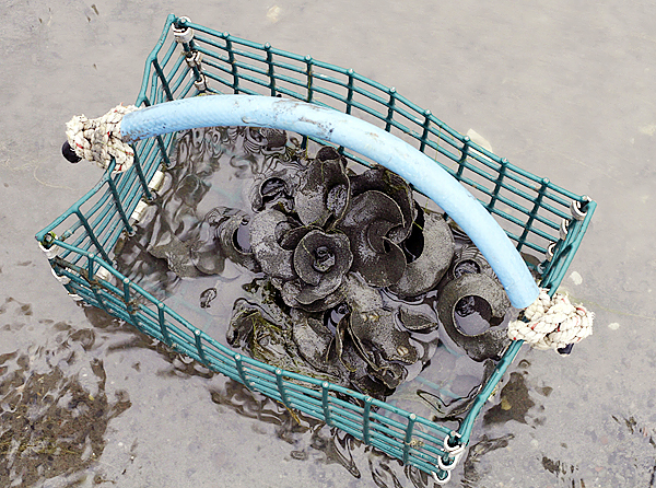 A bunch of moon snail egg cases, collected by clammers are seen in a clam hod, in Lubec, Maine, on Wednesday,  May 19, 2010.  The harvest in Lubec has fallen by approximately 85-percent from 2006 to 2009, from about 800 thousand pounds to about 100 thousand, according to the Maine Department of Marine Resources.(AP Photo/Pat Wellenbach)