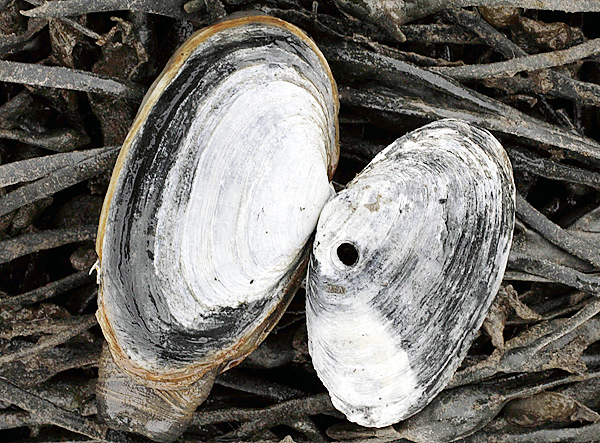 The remains of a soft shell clam,  right, the meat eaten by a moon snail, is posed beside a healthy clam in Lubec, Maine, on Wednesday,  May 19, 2010.  The harvest in Lubec has fallen by approximately 85-percent from 2006 to 2009, from about 800 thousand pounds to about 100 thousand, according to the Maine Department of Marine Resources.(AP Photo/Pat Wellenbach)
