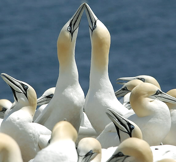 Dead gannets raise concerns about warming oceans, algae blooms