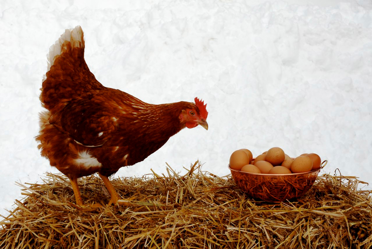 When a chicken is this happy and eggs are this fresh, does it really matter which one came first?  PHOTO COURTESY OF JULIA BAYLY   CAPTION  When a chicken is this happy and eggs this fresh, does it really matter which came first? (BANGOR DAILY NEWS Photo by Julia Bayly)