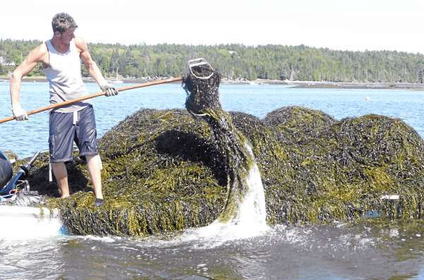 Jerry Lingley, 17, of Pembroke harvests rockweed last month in Cobscook Bay for Acadian Seaplants. A good harvester can cut 5 tons of seaweed a day and get paid $43 per ton. (Bangor Daily News/Sharon Kiley Mack)