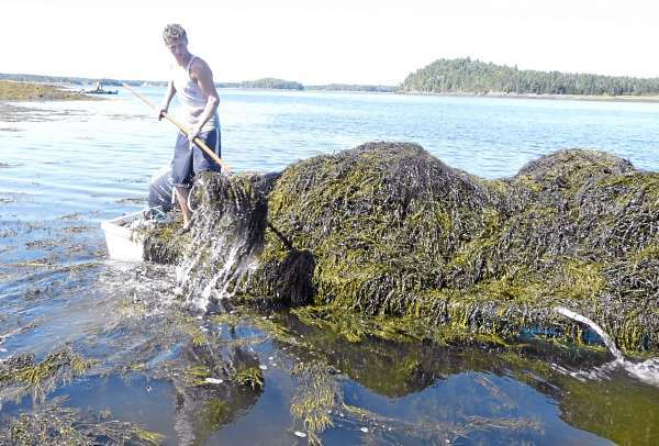Jerry Lingley, 17, of Pembroke, harvests rockweed in Cobscook Bay for Acadian Seaplants. A good harvester can cut five tons of seaweed a day and get paid $43 per ton. (Bangor Daily News/Sharon Mack)