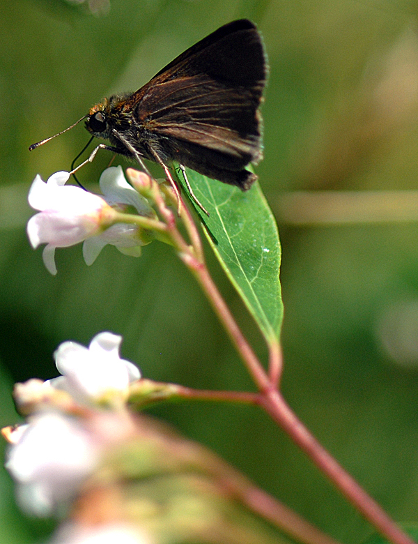 A Dun Skipper butterfly rests on a flowering plant during the North American Butterfly Count at Fields Pond Audubon Center in Holden Saturday afternoon , July 3, 2010. The butterfly count has been a 7.5 mile radius with Fields Pond in the center and provides butterfly population trend data. (Bangor Daily News/John Clarke Russ)