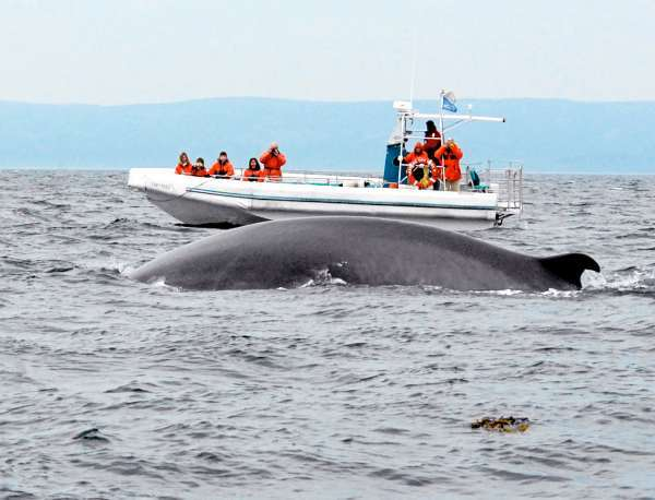 A fin whale prepares to dive in front of a boatload of whale watchers near Tadoussac, Quebec. reaching 150,000- pounds, fin whales are second in size only to the mighty blue whales who are also spotted in the area. (photo by Julia Bayly)