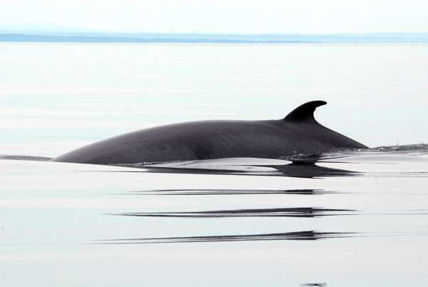 The distinctive profile of a Minke whale gently breaks the surface of the St. Lawrence Seaway. (photo by Julia Bayly)
