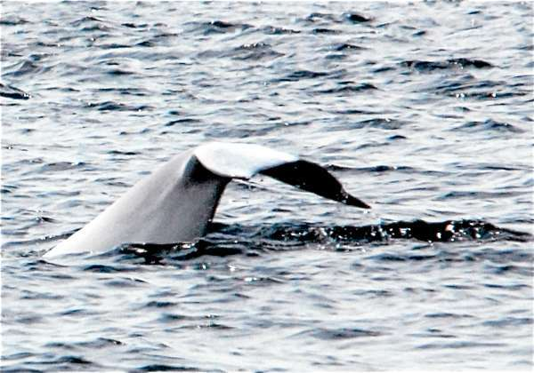 A beluga whale gives a wave of its tail before diving near Tadoussac, Quebec. Easily spotted thanks to their distinctive white coloring, the 15-foot whales are a fairly common sight in the St. Lawrene Seaway. (photo by Julia Bayly)