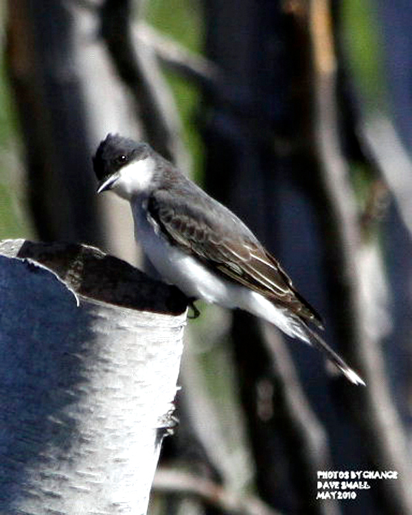 Dave Small eastern Kingbird   *Strout Outdoors