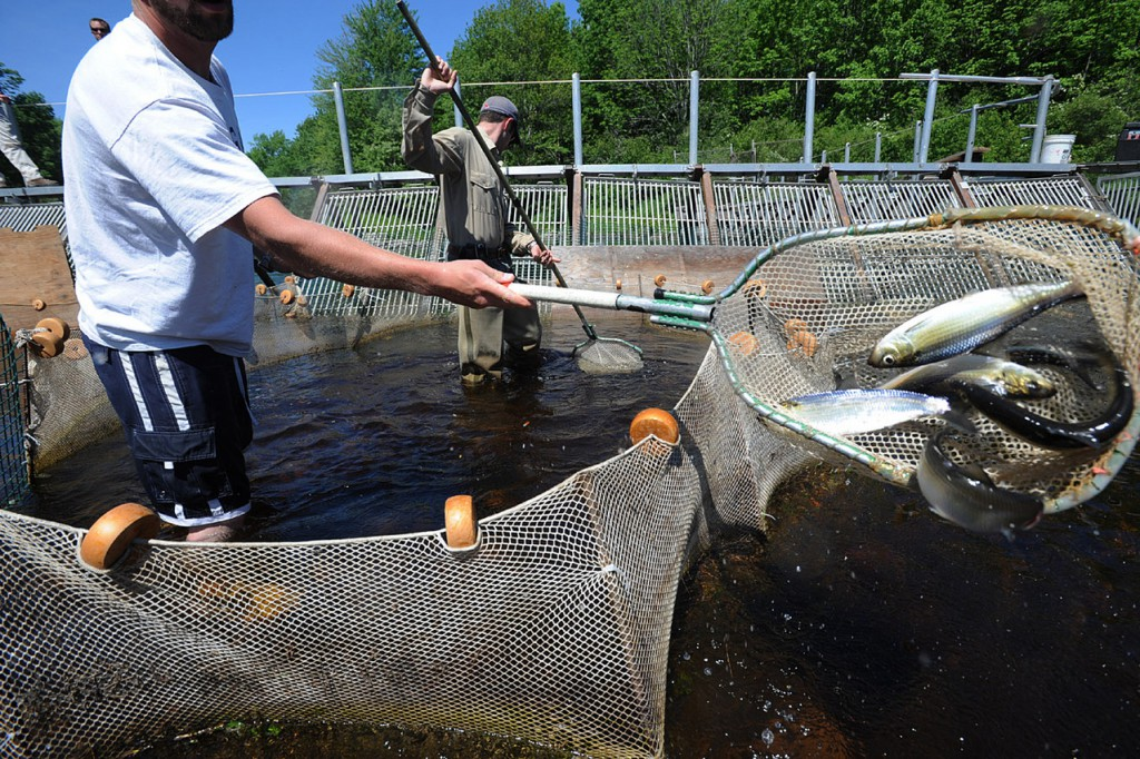 Kyle Winslow (left) and fisheries biologist Colby Bruchs use nets to dip alewives and blue-backed herring out of the trap at the Dennysville fish weir Friday. &quotWe count the fish when there is a smaller charge upstream, but we count the netful when they are coming up by the thousands,&quot said Bruchs. This is the first major study t o monitor the populat6ion of the alewive sand blue-backed herring tha t is fished commercially to be used as lobster bait.  (BANGOR DAILY NEWS PHOTO BY  GABOR DEGRE)  CAPTION  Kyle Winslow (left) and  fisheries biologist Colby Bruchr use nets to dip alewives and blue backed herring out of the trap at the Dennysville fish weir Friday.  &quotWe count the fish when there is a smaller charge upstream, but we count the netful when they are coming by the thousands.&quot said Bruchr.  This is the first major study to monitor the population of the alewives and blue backed herring that is fished commercially to be used as lobster bait. Photo Gabor Degre