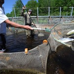 Maine must let alewives swim free in St. Croix river