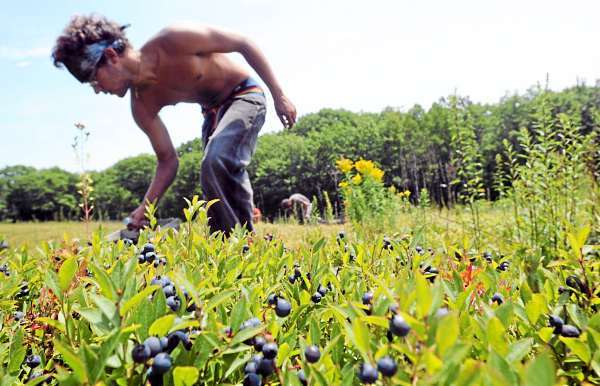 Andrue Leach rakes blueberries in a Rockport field for Spruce Mountain Blueberries Friday, JKuly 23, 2010. BANGOR DAILY NEWS PHOTO GABOR DEGRE