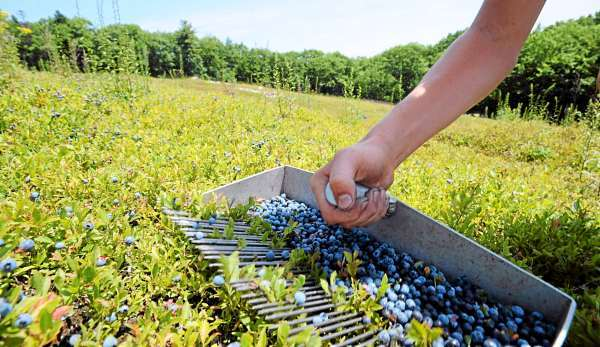 David Fish rakes blueberries in a Rockport field for Spruce Mountain Blueberries Friday, July 23, 2010.  BANGOR DAILY NEWS PHOTO GABOR DEGRE