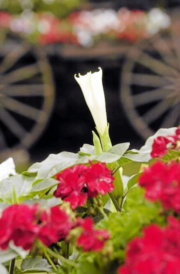 A trumpet flower pokes over geraniums in one of  Walter Whitney's  22 flower garden &quotspots&quot at his home in Hampden. Photographed Monday, July 19, 2010. (Bangor Daily News/John Clarke Russ)