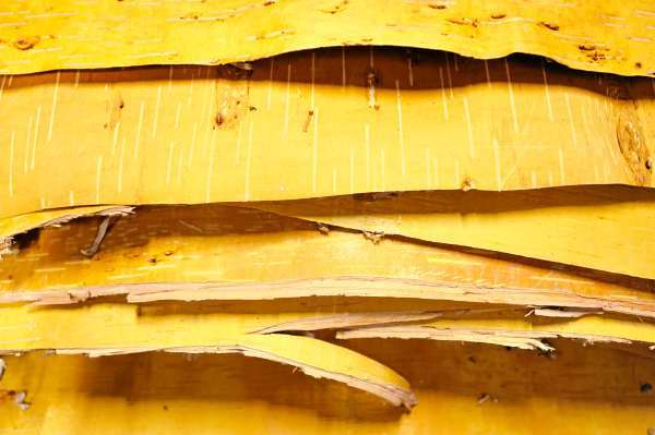 Carefully flattened birch bark awaits to be attached to a wigwam frame under construction at the Hudson Museum at the University of Maine in Orono. Photographed Monday afternoon, August 2, 2010. (Bangor Daily News/John Clarke Russ)