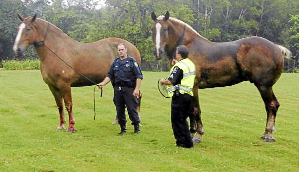 Maine State Police Trooper Josh D'Angelo, left, and Old Town police Sgt. Mike Hashey stand with the two injured draft horses that fell out the back of a horse trailer early Wednesday morning on Interstate 95. The horses were on their way to the fair in Presque Isle, but returned home after the accident to get medical care, the trooper said. Photo courtesy of Old Town Police Department. w/RICKER STORY